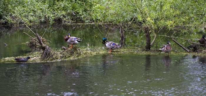 Ducks rest on debris washed down the River Itchen in Hampshire. Image: Paul Robinson