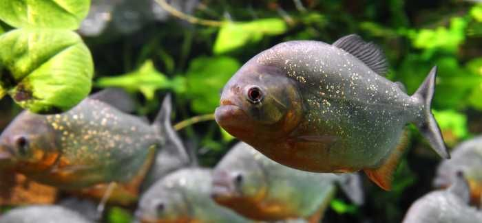 Piranhas are not to blame for blockage