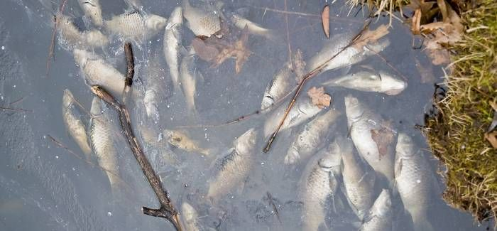 1,500 fish died in the spill, though the Environment Agency said many of the affected species were spawning at the time, 'so it is likely the incident had a significant impact on reproduction'