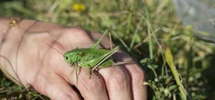 The wart-biter cricket is an endangered species