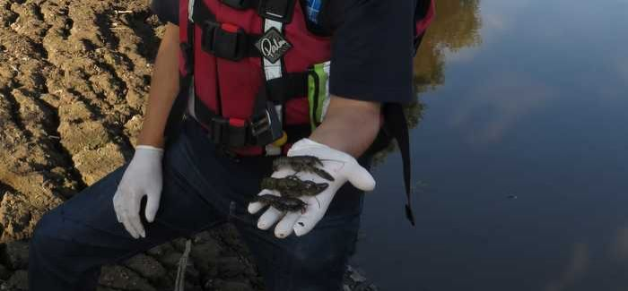 An APEM field scientist with some of the signal crayfish