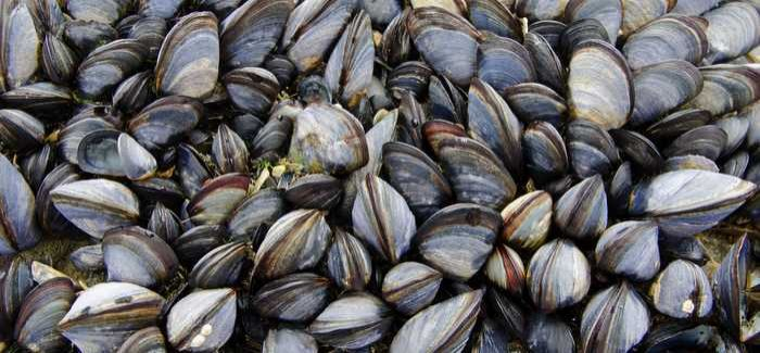 Mussel shells were used for the research, but the university said all types of seashell could be used