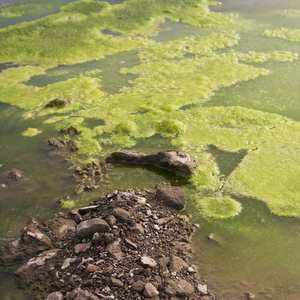 Blue-green algae toxins threat to drinking water