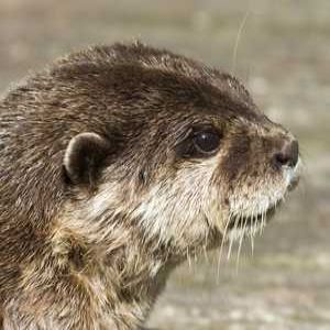 Scottish Water relocates otters in Glasgow CSO project