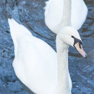 Robotic swans help monitor water quality
