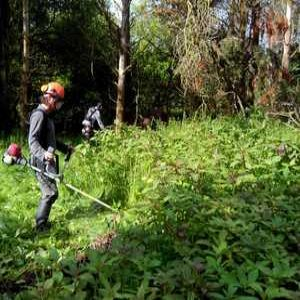 NRW tackles Himalayan balsam threat on Welsh rivers