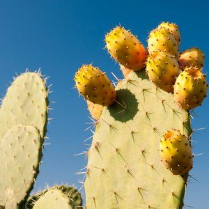 Cacti 'guts' clean contaminated water, say researchers