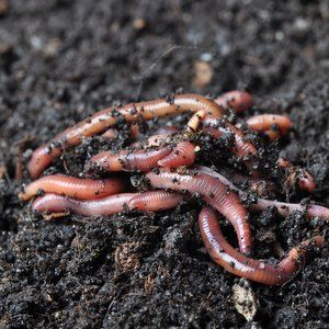 Earthworms to help treat winery's wastewater