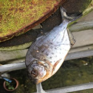 Southern issues three Ps reminder after piranha discovery