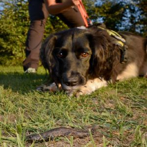 Wessex Water using great crested newt detection dog