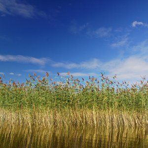 Reedbeds could be answer to River Lee pollution