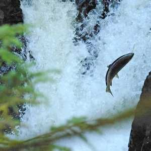 Increased salmon and hydropower are possible, says research